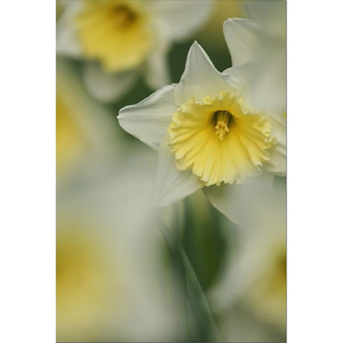 Daffodils Spring Time Fine Art Print by Celia Henderson LRPS