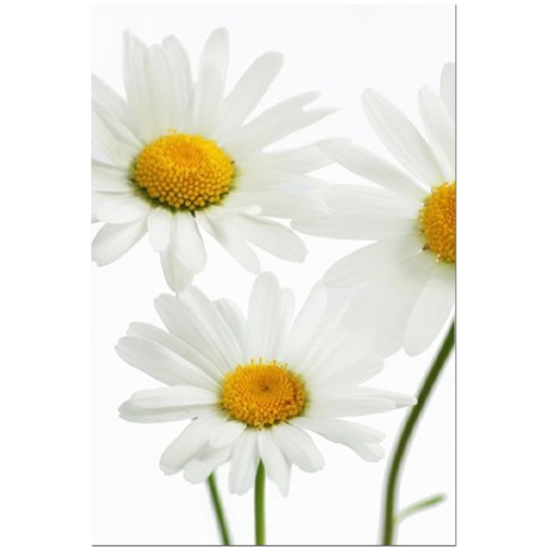 Summer Daisies Stretched Canvas by Celia Henderson LRPS