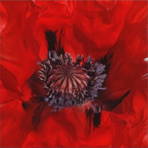Celia Henderson Poppy Heart Stretched Canvas