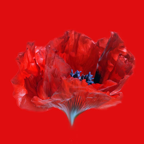 Celia Henderson Red Poppy Stretched Canvas