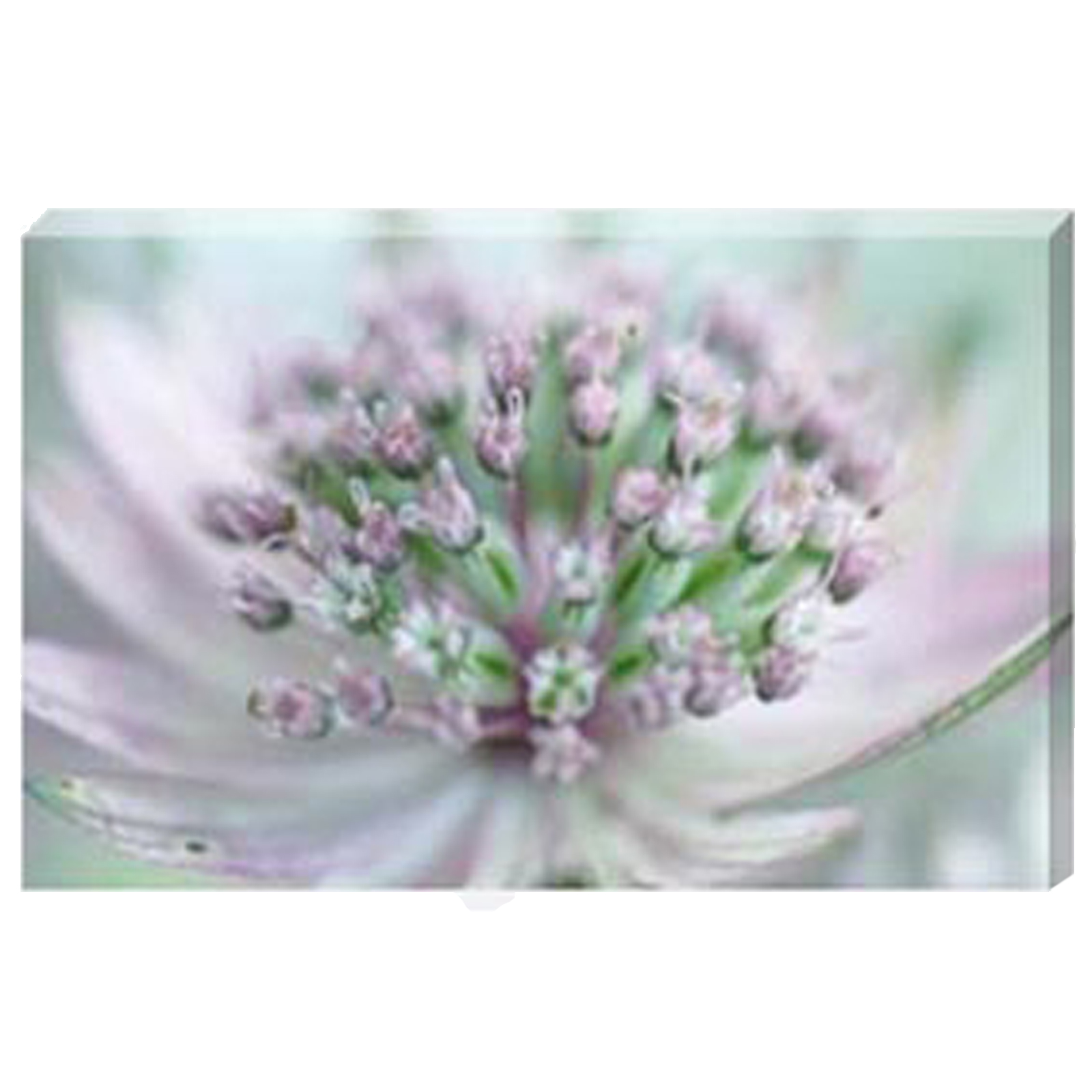 Astrantia IV - Stretched Canvas by Celia Henderson LRPS