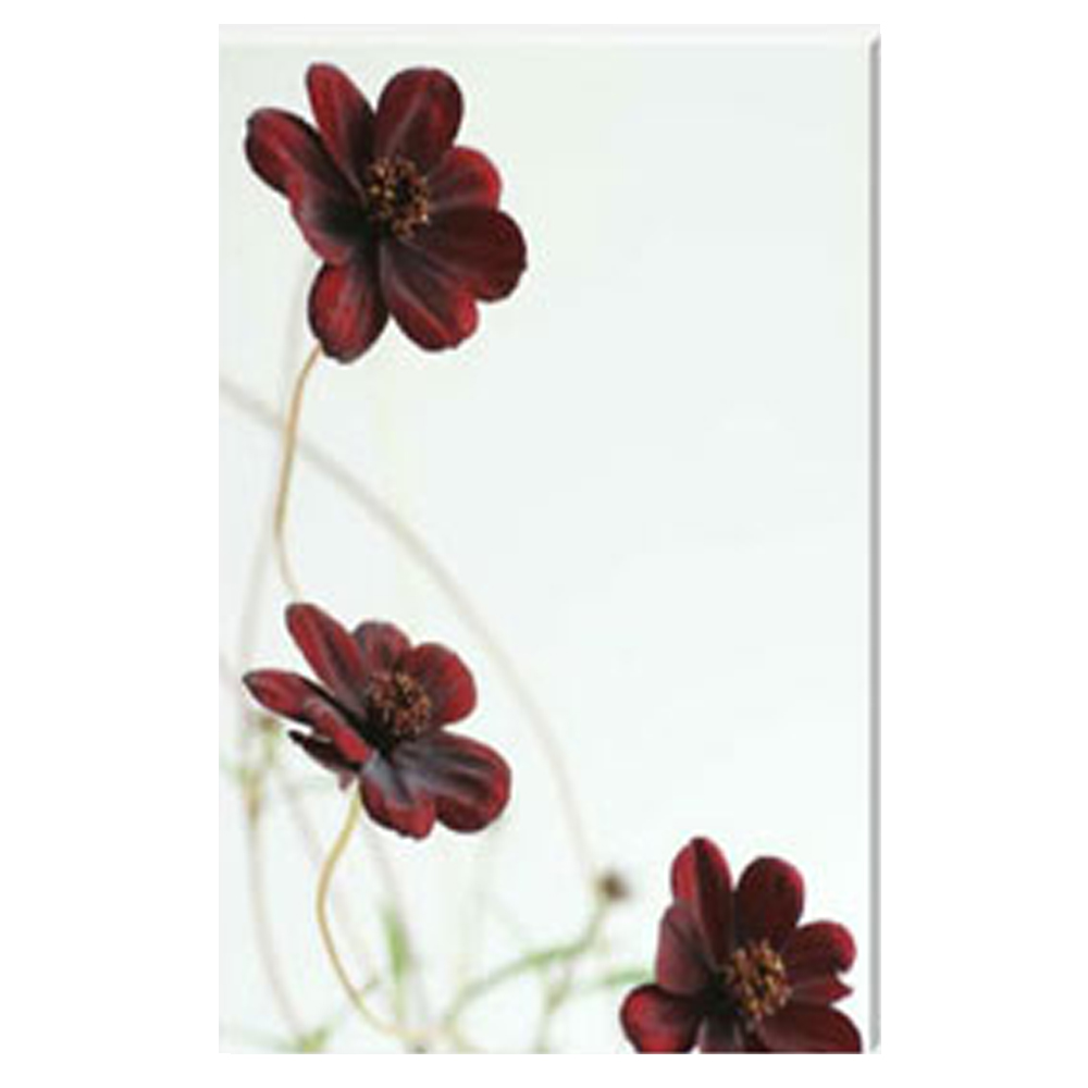 Chocomocha Cosmos Trio Stretched Canvas by Celia Henderson LRPS