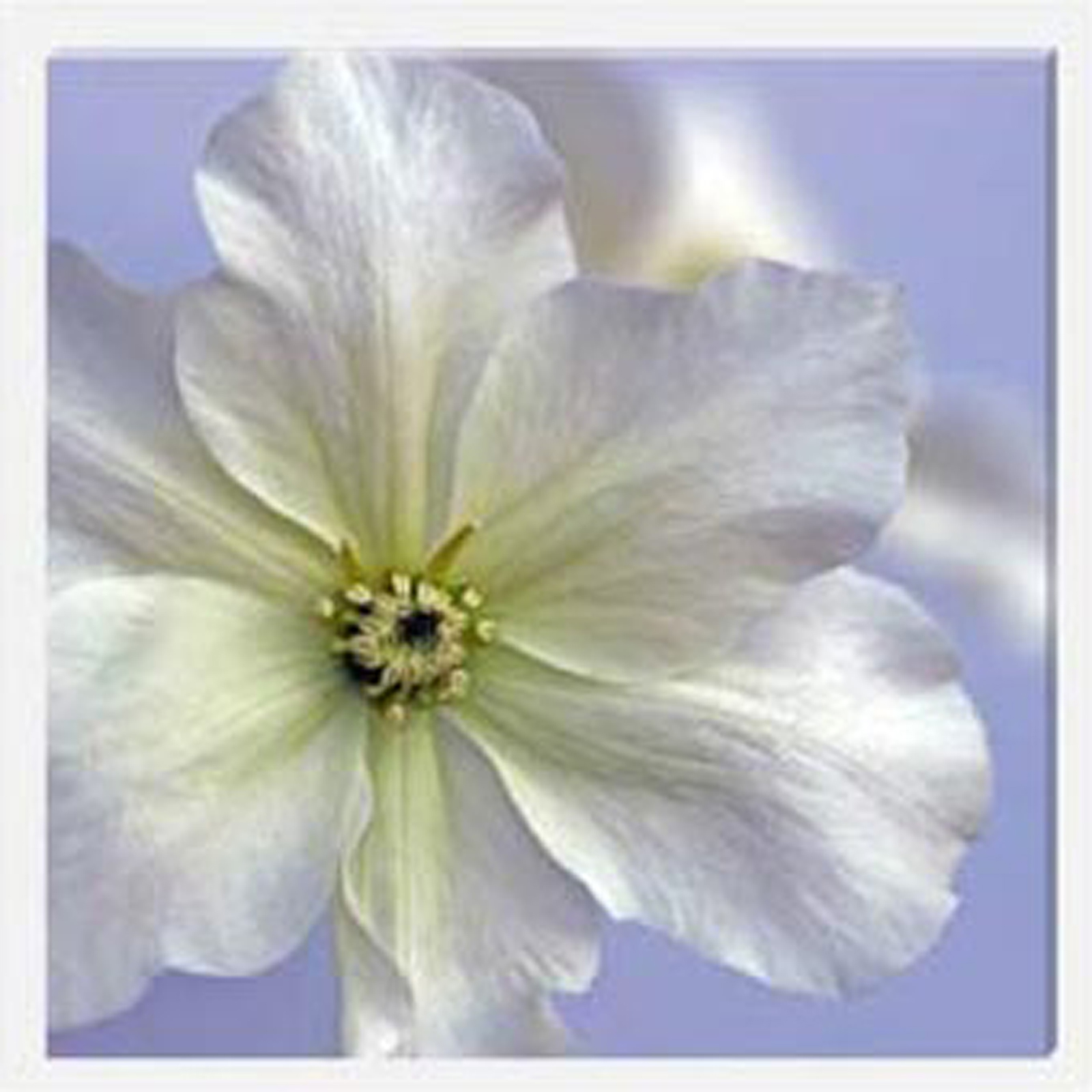 Clematis II Stretched Canvas by Celia Henderson