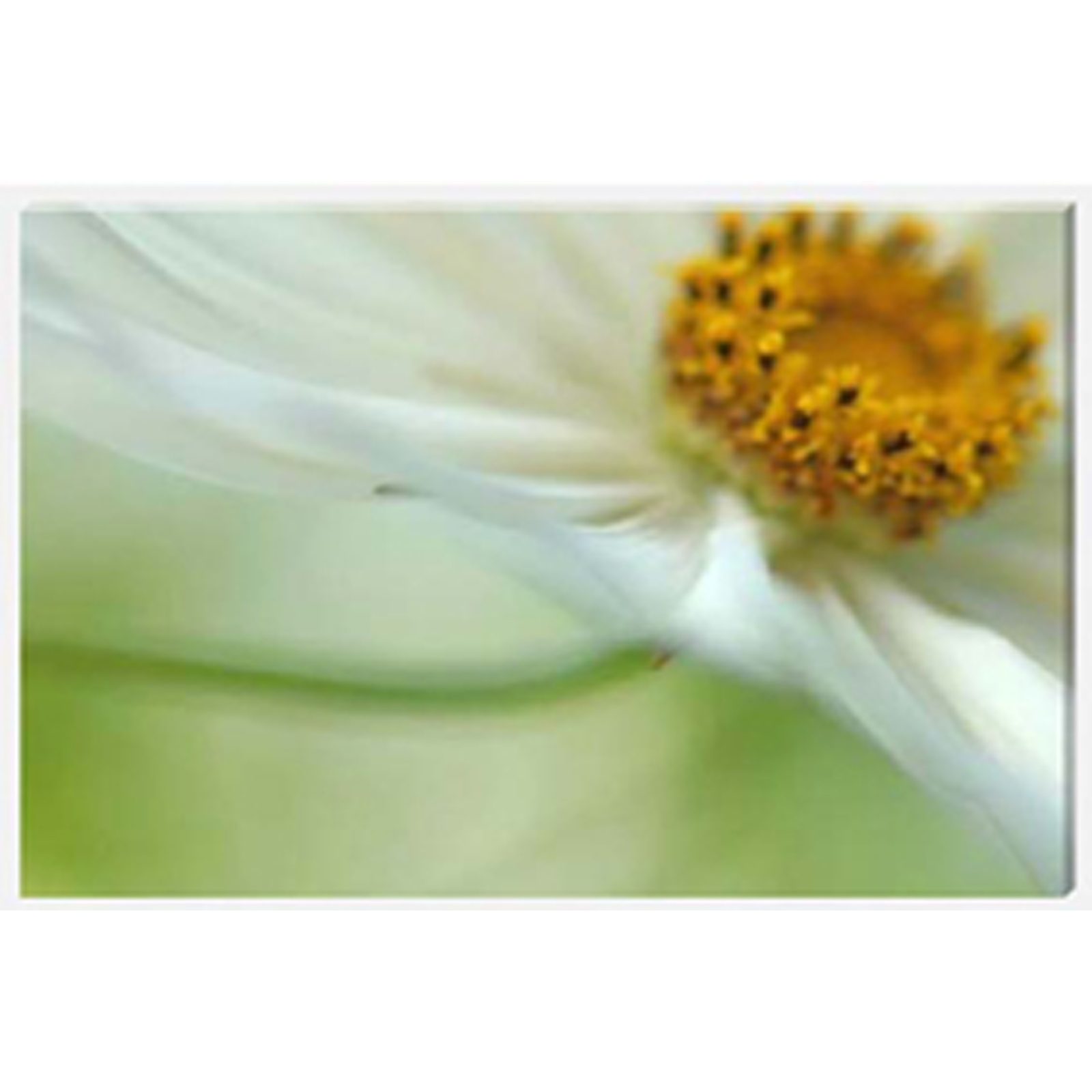 Cosmos Swish Stretched Canvas by Celia Henderson LRPS