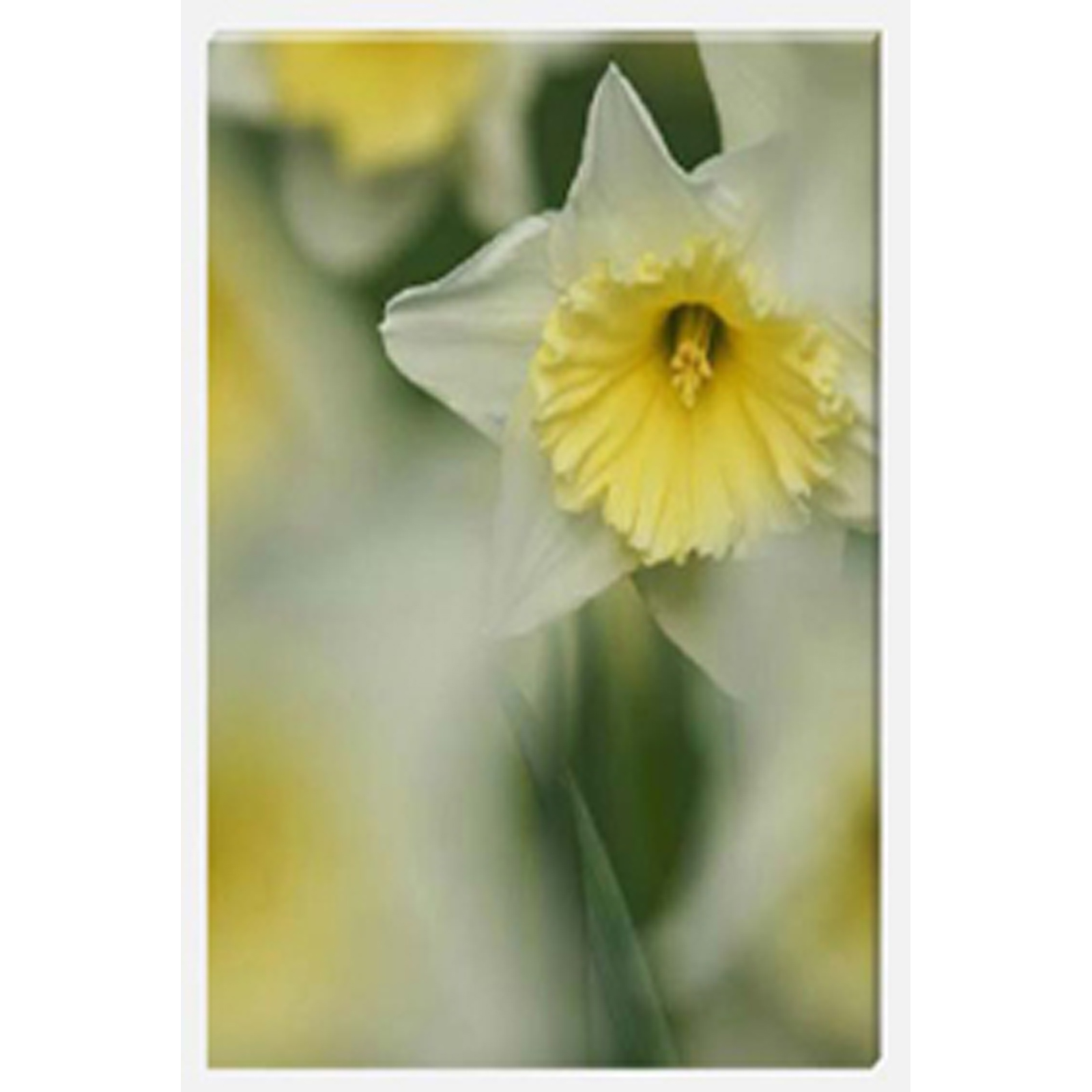 Daffodils Spring Time Stretched Canvas by Celia Henderson LRPS