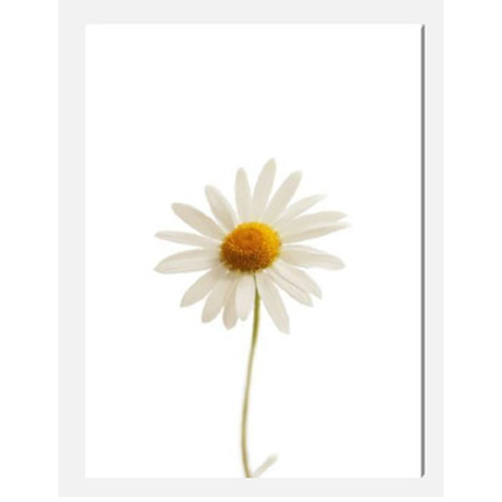 Daisy Stretched Canvas by Celia Henderson LRPS
