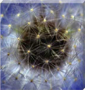 Dandelion Blossom Stretched Canvas by Celia Henderson LRPS