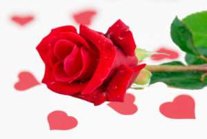 red rose laying on a white background with scattered red hearts