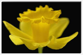 Daffodil Trumpet Canvas Picture by Celia Henderson
