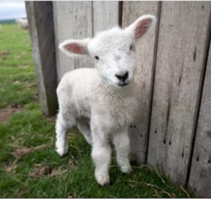 New born spring lamb from Romney Marsh