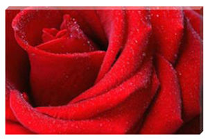 English-Rose-Landscape-Canvas-Picture -by-Celia-Henderson-LRPS